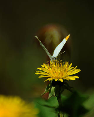 Falcate Orangetip Butterfly On Dandelion Art Print by Rebecca Sherman