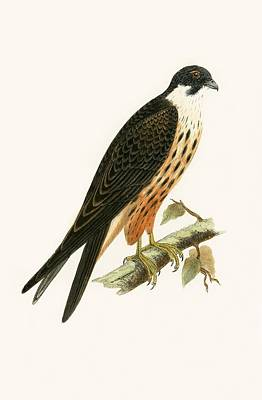 Falcon Painting - Falco Eleonorae by English School