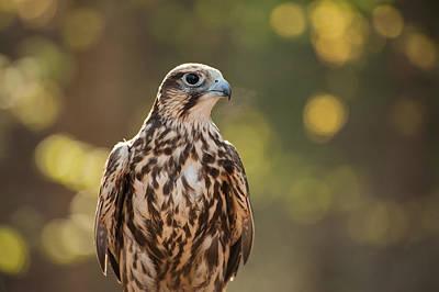 Photograph - Falcon 1  by Joye Ardyn Durham