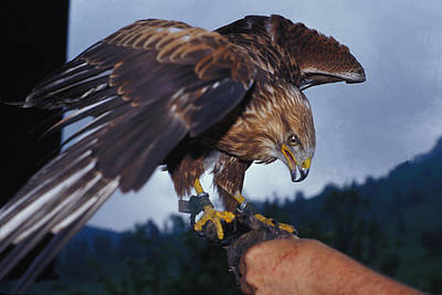 Art Print featuring the photograph Falcon by Carl Purcell