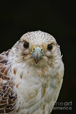 Photograph - Falcon Close Up by Mitch Shindelbower