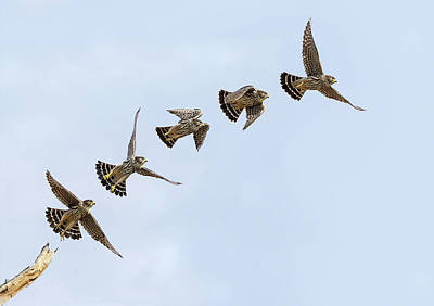 Photograph - Falcon Flight by Art Cole