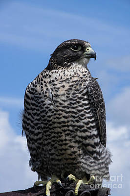 Photograph - Falcon For Hire by Louise Magno