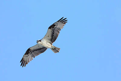 Photograph - Falcon In Flight by Mark Harrington