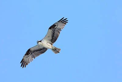 Photograph - Falcon In Flight by Mark Harrington