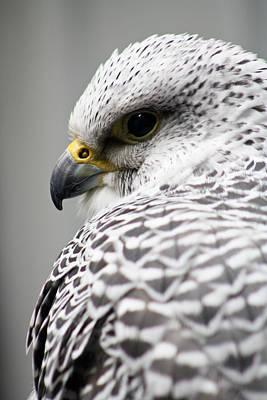 Falcon Art Print by Mindee Green