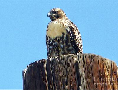 Photograph - Falcon Perched  by Susan Garren