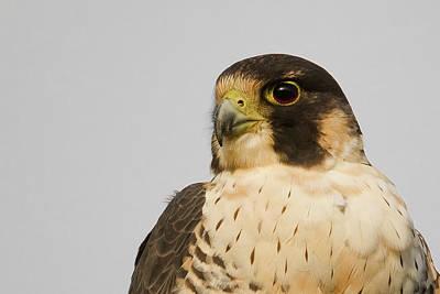 Photograph - Falcon Portrait by Craig Strand