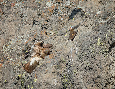 Photograph - Falcon Vs. Hawk by Loree Johnson