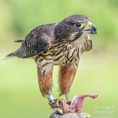 Photograph - Falcon by Werner Padarin