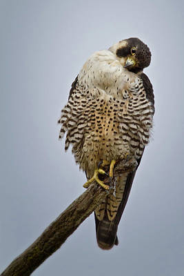 Photograph - Falcon With Cocked Head by Craig Strand
