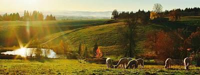 Photograph - Fall Alpaca Farm by Kelly Nicodemus-Miller