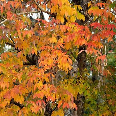 Photograph - Fall Ash - Fraxinus Americana by rd Erickson