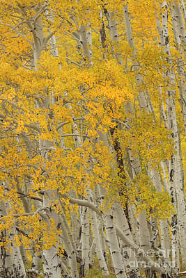 Photograph - Fall Aspen Grove by Ronda Kimbrow