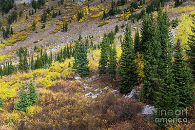 Fall Aspens And Evergreen Trees Print by Mike Cavaroc