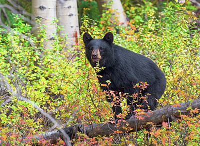 Photograph - Fall Bear by Scott Warner
