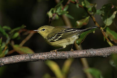Photograph - Fall Blackpoll Warbler by Doug Lloyd