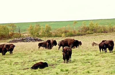 Photograph -  Fall Buffalo  by Brian Sereda