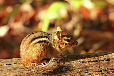 Photograph - Fall Chippie by Debbie Oppermann