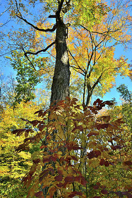 Photograph - Fall Color Canopy In Ryerson Woods by Ray Mathis