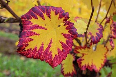 Photograph - Fall Color Of Grape Foliage Macro by David Gn