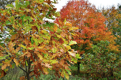 Pop Art Rights Managed Images - Fall Color Sugar Maple and Oak in Veterans Acres Royalty-Free Image by Ray Mathis