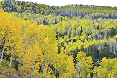 Photograph - Fall Colored Aspen Groves Along Last Dollar Road by Ray Mathis