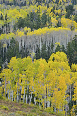 Photograph - Fall Colored Aspen Hillsides On Last Dollar Road by Ray Mathis