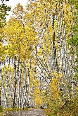 Photograph - Fall Colored Aspens Crown Country Road by Ray Mathis