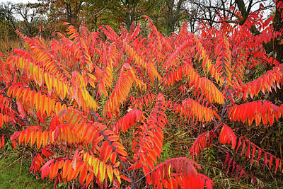 Photograph - Fall Colored Sumac At Severson Dells Nature Center by Ray Mathis