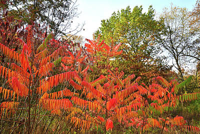 Photograph - Fall Colored Sumac In Chain-o-lakes Sp by Ray Mathis