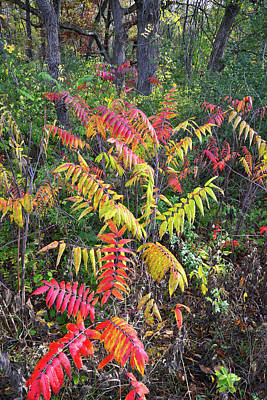 Photograph - Fall Colored Sumac In Chain-o-lakes State Park by Ray Mathis