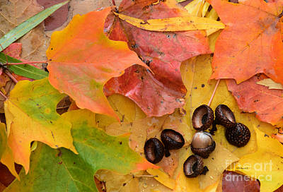 Photograph - Fall Colors And Acorns by Kathy M Krause