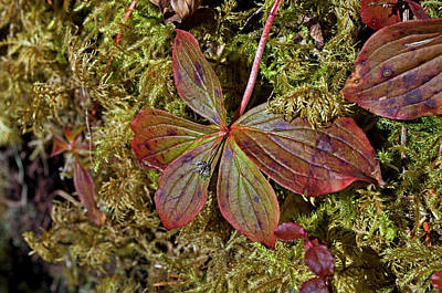 Photograph - Fall Colors In Spring - Bunchberry by Cathy Mahnke