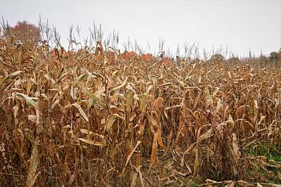 Photograph - Fall Corn Field by Charles HALL