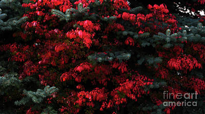 Photograph - Burning Bush by Greg Patzer