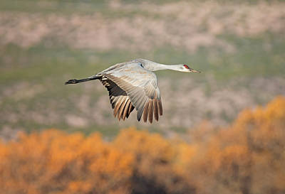 Photograph - Fall Flight Of The Sandhill by Loree Johnson
