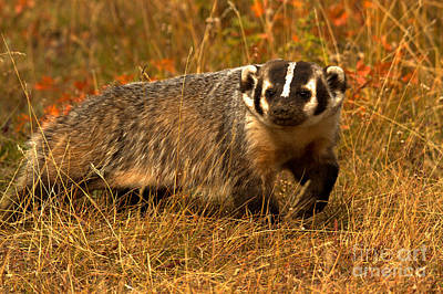 Photograph - Fall Foliage Badger by Adam Jewell