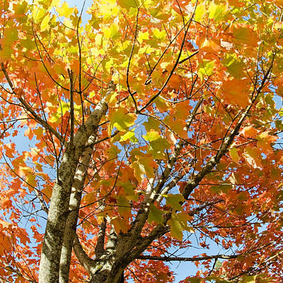 Photograph - Fall Foliage by Margaret Pitcher
