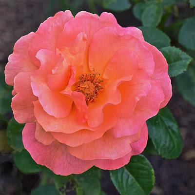 Photograph - Fall Gardens Full Bloom Harvest Rose by Janis Nussbaum Senungetuk