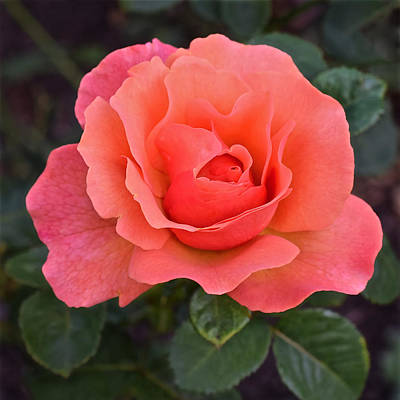 Photograph - Fall Gardens Rosh Hashana Rose by Janis Nussbaum Senungetuk