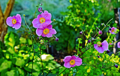 Photograph - Fall Gardens September Charm Anemone by Janis Nussbaum Senungetuk