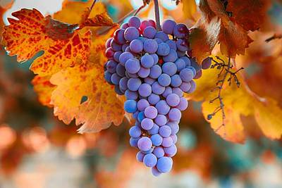 Fall Grapes From The Yakima Valley,  Art Print by Lynn Hopwood