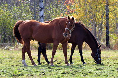 Photograph - Horses Fall Grazing by Glenn Gordon