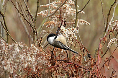 Photograph - Fall Harvest Chickadee by Debbie Oppermann