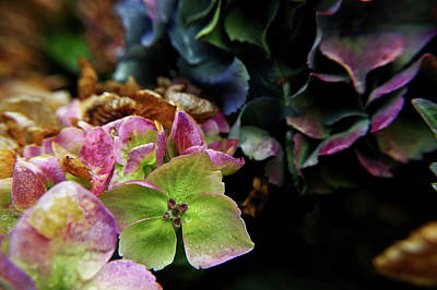 Photograph - Fall Hydrangea by Adria Trail