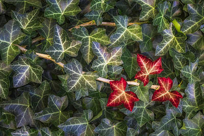 Vine Photograph - Fall Ivy Leaves by Adam Romanowicz