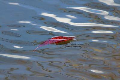 Photograph - Fall Leaf 1225 by Captain Debbie Ritter