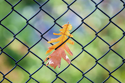 Photograph - Fall Leaf Caught On A Fence by David Gn