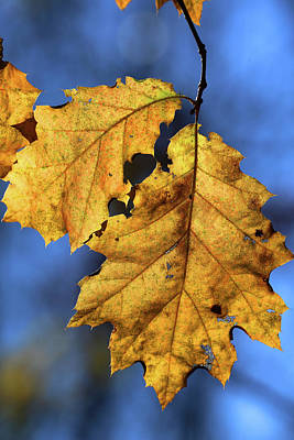 Photograph - Fall Leaf W 2016 by Mary Bedy